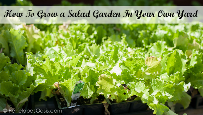 salad garden at home