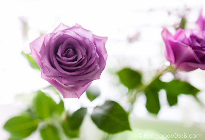 blooming lavender roses