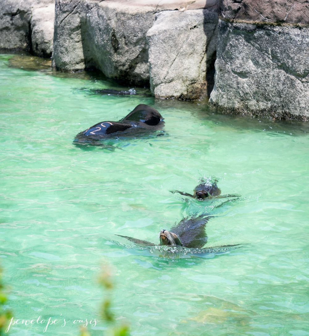 marked sea lion feeds on endangered salmon